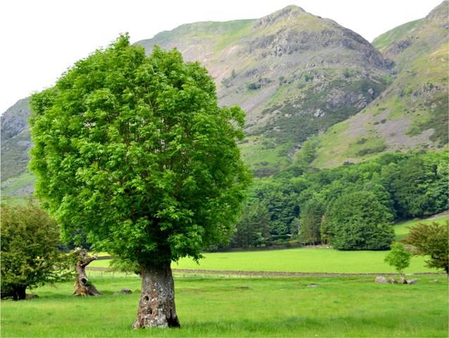Ash pollard in Cumbria