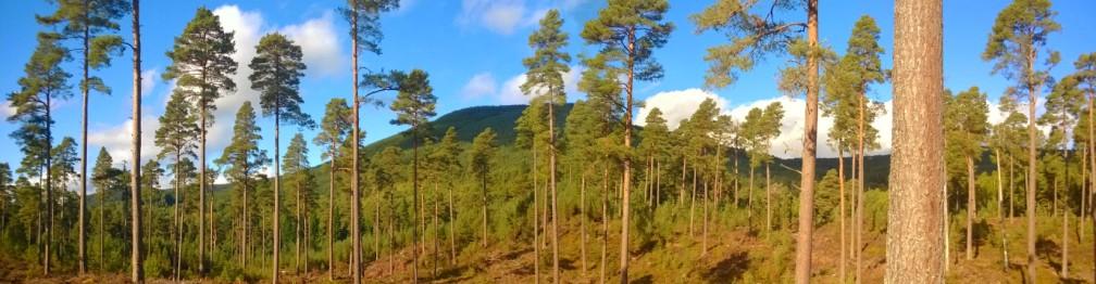 Scots-pine-Loch-Vaa-1