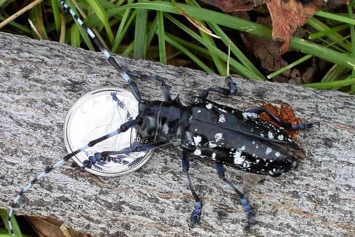 Asian Long-Horned Beetle (Anoplophora glabripennis).