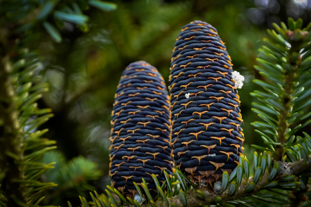 Megagametophyte strobili of Abies koreana. Photo: © 2013 Edward Wilson.